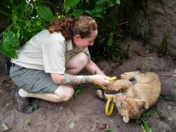 """""""Work"""" fun with lion cubs."""