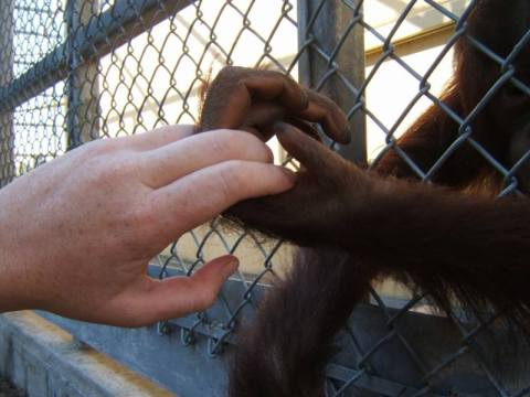 Hand in hand with my pal, Alina, a young orangutan.